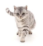 Grey cat goes. Gray cat goes on a white background Royalty Free Stock Photos