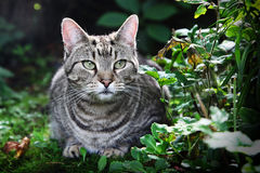 Grey cat in grass. Portrait of a grey cat crouched in green grass Royalty Free Stock Images