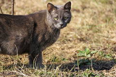 Grey cat in the grass. Royalty Free Stock Image