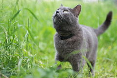 Grey cat in grass Stock Images