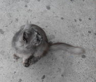Grey cat. Gray fluffy cat looking back Stock Image