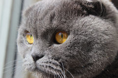 Grey cat Royalty Free Stock Photos