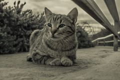 Grey cat with green eyes royalty free stock photos