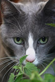 Grey Cat with green eyes. Face of grey and white cat with green eyes peering through catnip plant Royalty Free Stock Image