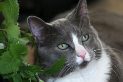 Grey cat green eyes. Grey and white cat with green eyes and white blaze down nose resting against catnip plant royalty free stock photography