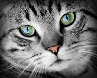 Grey cat with green eyes Royalty Free Stock Photography