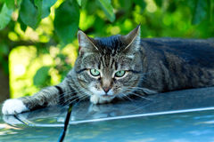 Grey cat with green eyes. On green background royalty free stock photography