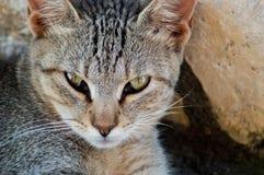 Grey Cat. Green eyes beutifull cat Stock Image