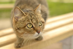 Grey cat with green eyes. Closely watching for prey Royalty Free Stock Image
