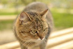 Grey cat with green eyes. Closely watching for prey Stock Photography