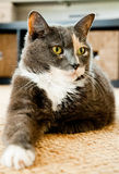Grey cat with green eyes lays on the carpet Royalty Free Stock Images