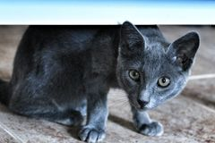 Grey Cat with green eyes. Looking at camera royalty free stock photography