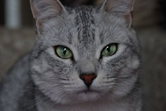 Grey cat with green eyes looks at the camera. Young Grey cat with green eyes looks at the camera stock images