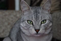 Grey cat with green eyes looks lower the camera level. Young Grey cat with green eyes looks lower the camera level stock photography