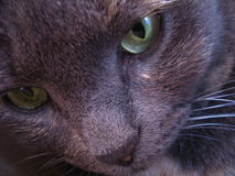 Grey cat with green eyes portratit. Feline eyes. Green sight and close up of a grey cat face Stock Photography