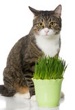 Grey cat and green grass Royalty Free Stock Photo