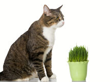 Grey cat and green grass Royalty Free Stock Images