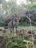Grey cat. With green eyes walking for the forest royalty free stock photo