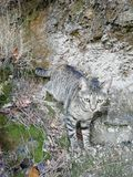 Grey cat. With green eyes walking for the forest stock image