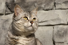 Grey Cat by Grey Stone Wall. A grey cat with golden eyes matches the grey stone wall behind Royalty Free Stock Image