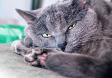Grey cat half asleep Stock Image