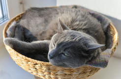 Grey cat has a nap in the wicker basket Royalty Free Stock Images