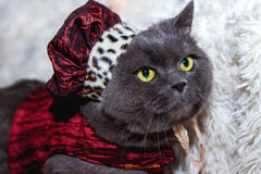 Grey  cat in the hat. Grey British cat in the hat Royalty Free Stock Photo