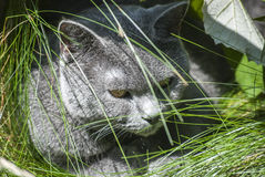 Grey cat head closeup Stock Photography