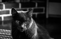 A grey cat. Royalty Free Stock Photos