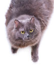 Grey cat interestedly looks up Royalty Free Stock Image
