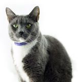 Grey Cat. This is just an average grey American Short Hair Stock Images