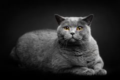 Grey cat laying on black background stock photos