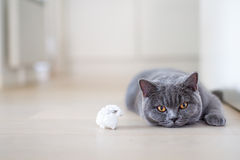Grey cat laying on the floor. British shorthair. Want to play? British shorthar kitten laying on the floor next to toy. cat staring with yellow eyes. Grey cat at Royalty Free Stock Photos