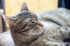 Grey cat laying and sleeping in bed Royalty Free Stock Photos