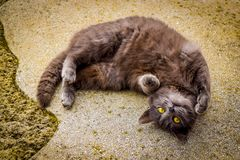 Grey cat lies on ground, looks up. Stock Photo
