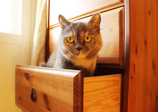 Grey Cat Lisa is sitting in a drawer. Stock Images