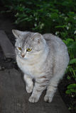 Grey cat. Look of grey cat to the rival Royalty Free Stock Image