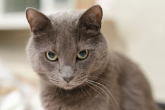 Grey cat lookin directly to the camera Stock Photography