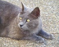 Grey cat looking Stock Photos