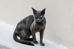 A grey cat is looking. Around Royalty Free Stock Photos