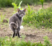 Grey Cat Looking Back. A grey farm cat looks back from a grassy field stock photo