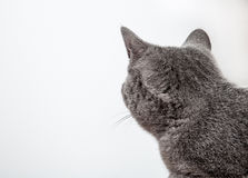Grey cat looking back royalty free stock images