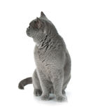 Grey cat looking backward Stock Photo