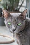 Grey cat looking at camera Stock Photography