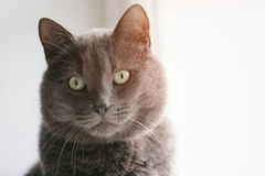 Grey cat looking directly to the camera Stock Photo