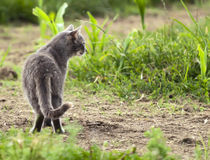 Grey Cat Looking in Distance. A grey farm cat looks in the distance from a grassy field Stock Photos