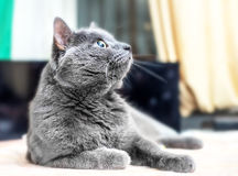 Grey cat looking up. Adult grey cat looking up in room Stock Images