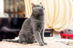 Grey cat looking up Royalty Free Stock Photo