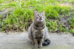 Grey cat looking up in the sky. A cat looking up in the sky Royalty Free Stock Images