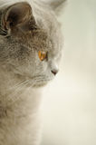 Grey cat looking at the window Stock Image